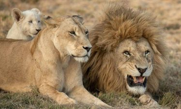 Lion with lioness and cub